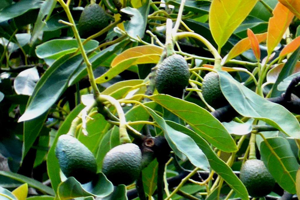 Avocado am Baum