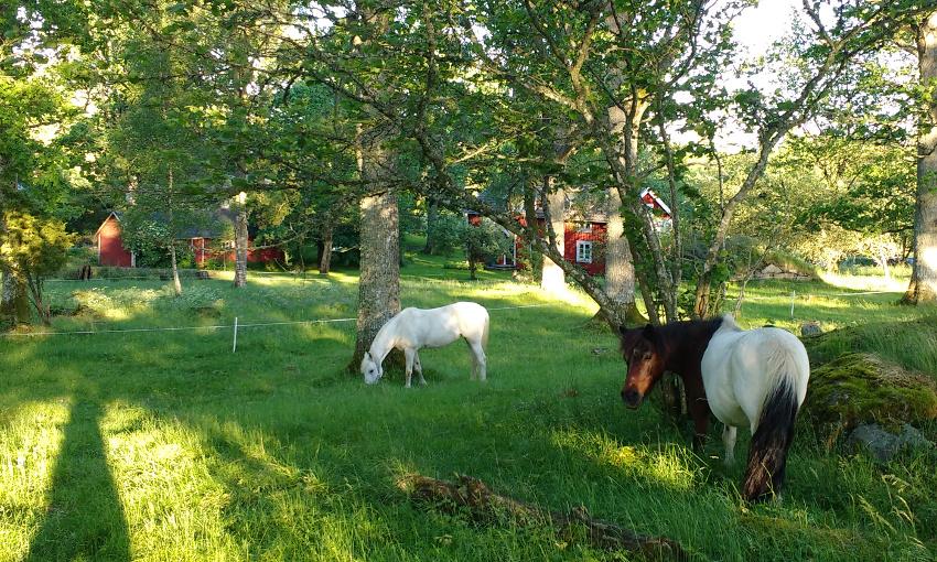 Bullerbü-Ferien in Smaland_Schweden_Ponies hinterm Ferienhaus