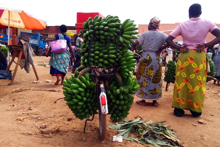 Typischer Anblick in Uganda: ein mit Matoke beladenes Fahrrad