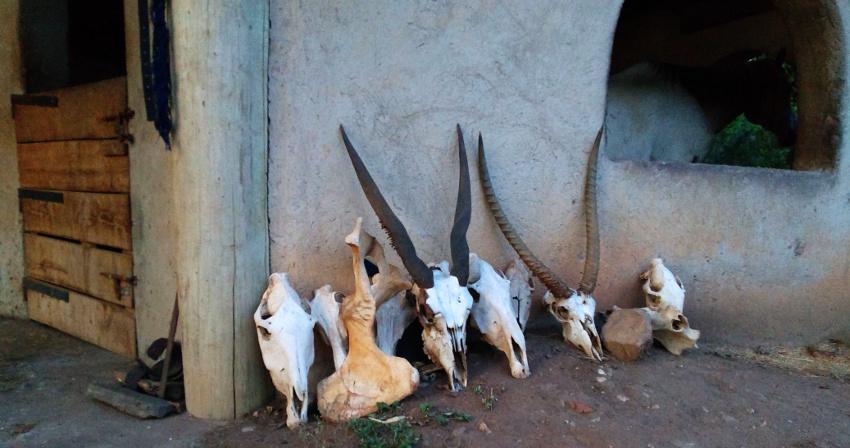 Gazellenschädel an den Stallungen der Mihingo Lodge im Lake Mburo Nationalpark