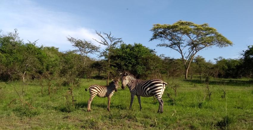 Zebras im Lake Mburo National Park Uganda