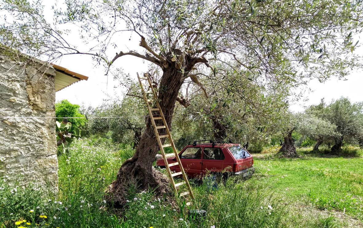 Sizilien Olivenbaum Olivenöl Zisolhouse